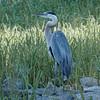 Heron at Rodman Dam