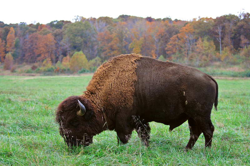 Bison Bull, Land between the lakes KY