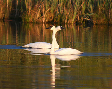 The two adults, swam off to feed in different directions, but then after a few moments, swam towards each other, out of the mist and into the direct light. One of the swans stretched out his neck to rub; affectionately it seemed, against the female as they passed.
