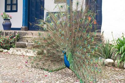 Peacock Ecuador
