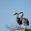 Great Blue Heron chicks  at Viera Wetlands