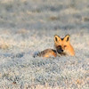 fox w/filter