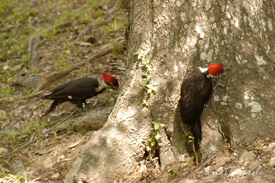 KJT_2006-05-13_0016 Pileated Woodpeckers