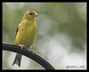 Yellowfinch