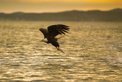 Bald Eagle at sunrise
