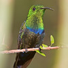 Green-throated Caribe