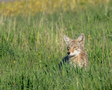 Mother coyote hunting for a meal for her pups.