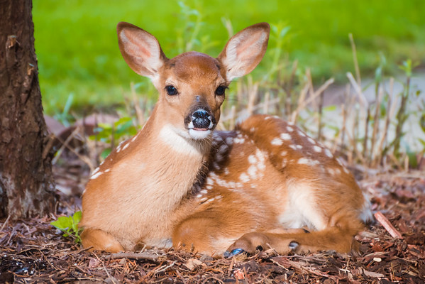 Whitetail Fawn Visiting, Johnston IA (17 June 2015)