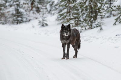 Young wolf, Banff National Park