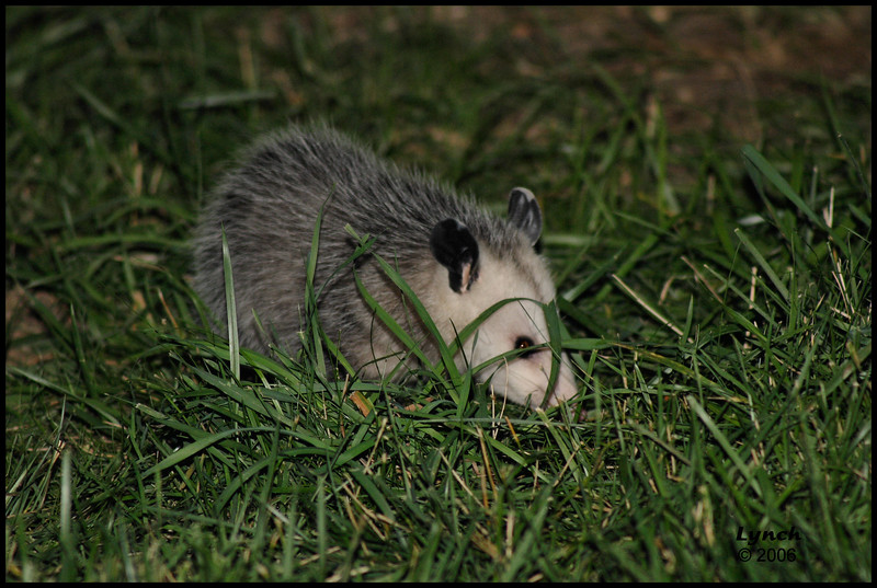 Possum baby at dusk