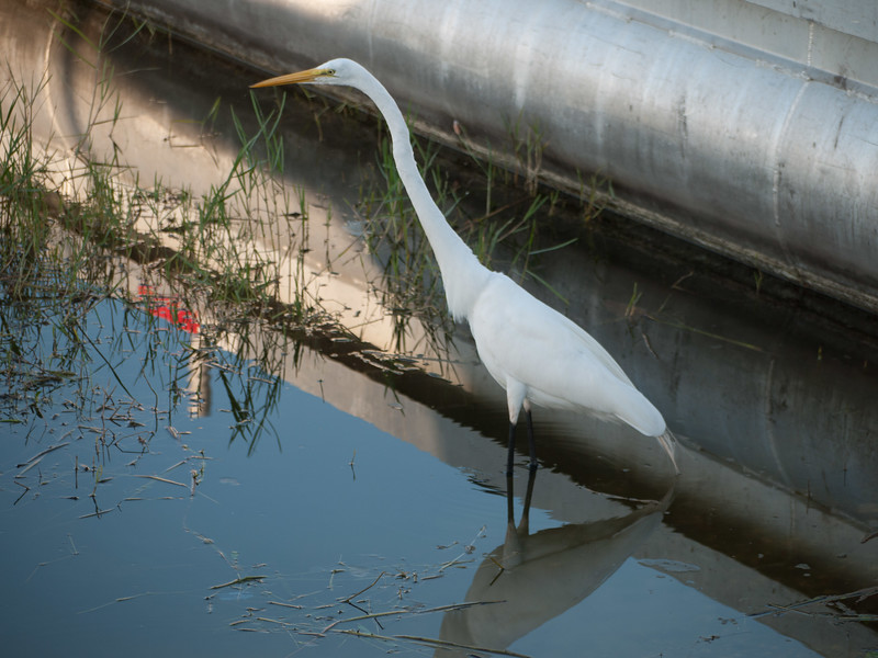 Egret at Wooten Park