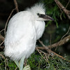 Little Blue Heron juvenile