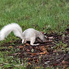 White Squirrel Searching for Nuts