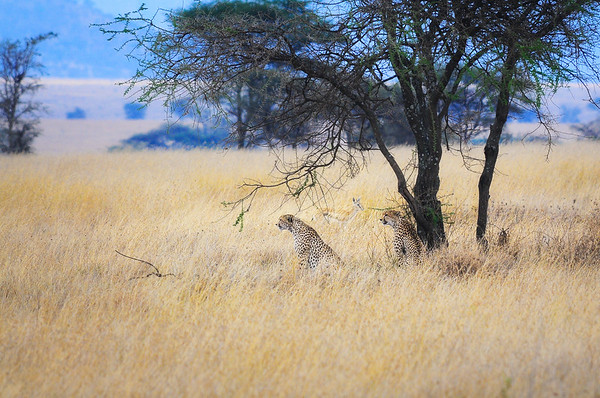Two Cheetahs and a Gazelle