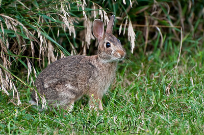 Curious Cottontail