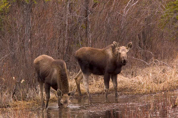 These two moose were enjoying the early spring feeding in the Copper River basin between Glennallen and Valdez Alaska in mid-May 2006.