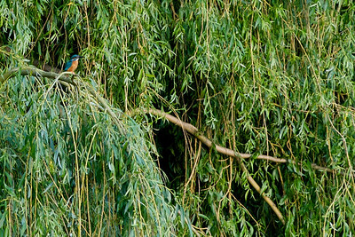 My first Kingfisher shot, not brilliant but I got one ! Not suitable for printing as it is heavily cropped