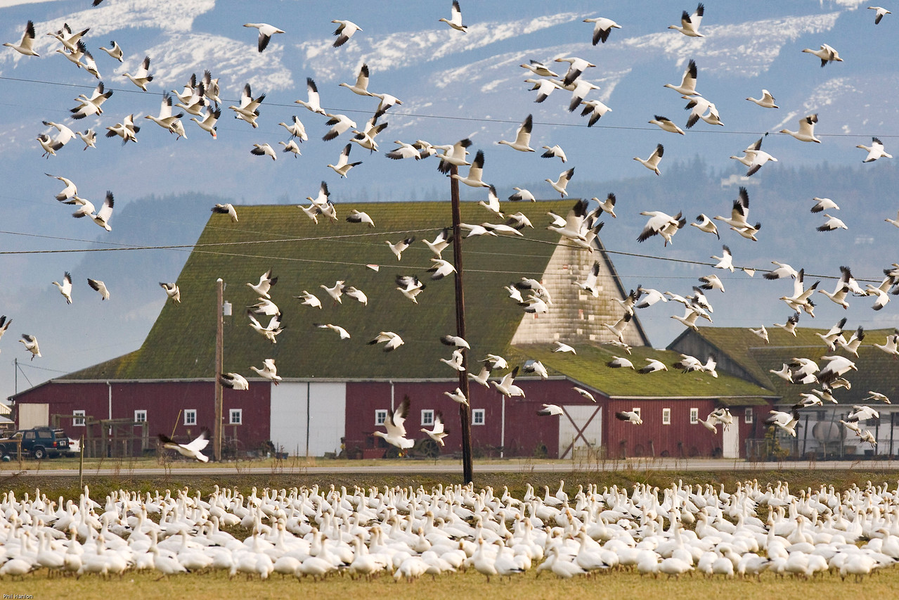 Snow Geese Skagit Flats