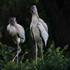 Wood Stork chicks