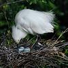 Snowy Egret tends her eggs