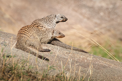 Banded Mongoose 4261
