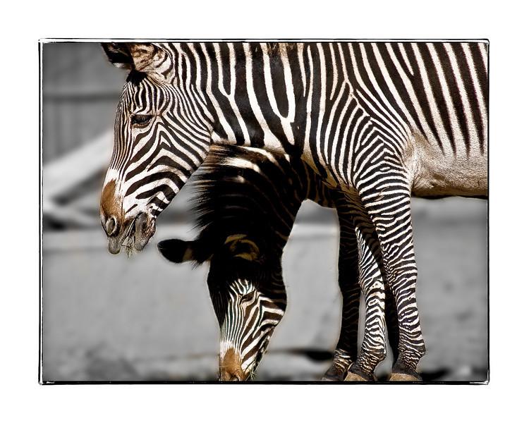 Zebras at the Denver Zoo