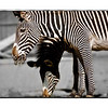 Zebras at the Denver Zoo