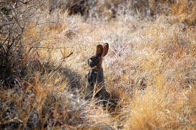 Desert Rabbit (Nevada)