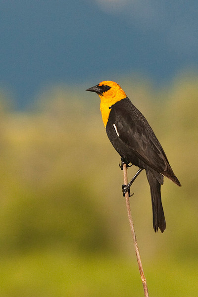 Yellow Head Blackbird 2