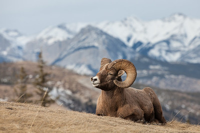 Bighorn ram striking a pose