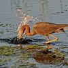 Little Blue Heron Makes a Splash