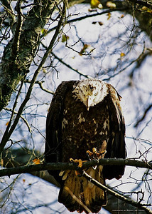 Angry Eagle. Taken in South Carolina, York County along the Catawba River.