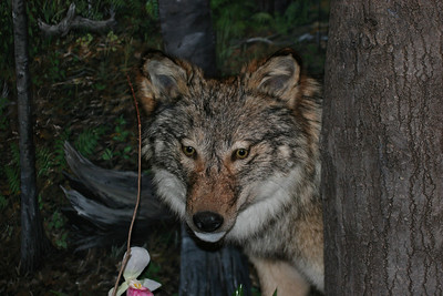 Timber Wolf - taken at Tamarac Wildlife Refuge.  Have a blessed day!