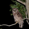 Barred Owl in Jacksonville Beach
