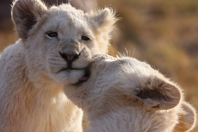 Lion cubs South Africa