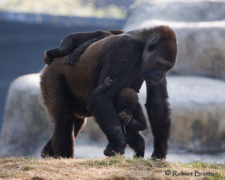 Gorilla with Young