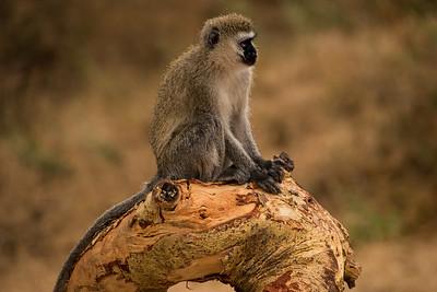 Vervet monkey 7588
