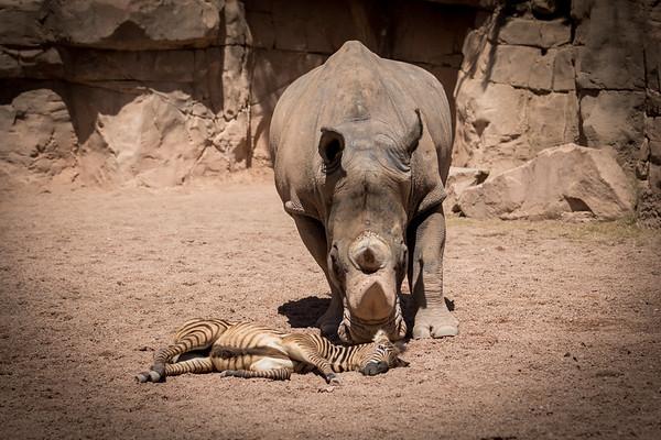 Threatening Rhino