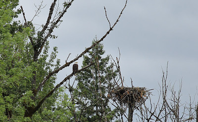 Bald Eagle and Nest, 2015