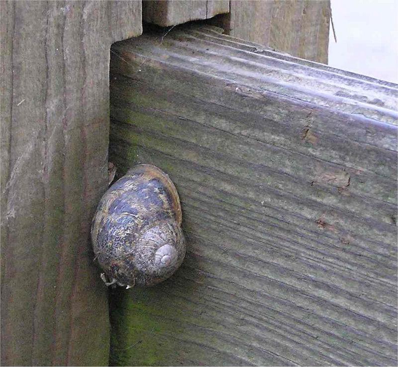 chilterns_snail_April2005
