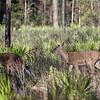 White-tailed deer at Paynes Prairie