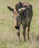 Grevy's Zebra 3170