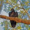 Black Vulture Near Newnan's Lake
