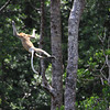 Leaping Proboscis Monkey