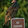 Turkey Vulture Parking on No-Parking Sign