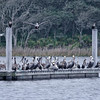 Brown Pelicans at Guana Dam