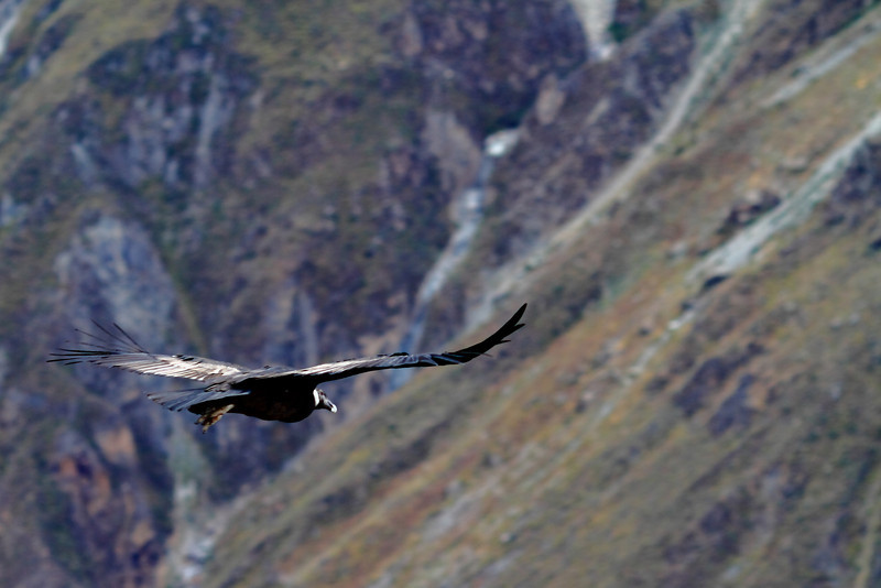 Wingspan, Colca Canyon Peru<br /> <br /> Condors have a huge wingspan that can reach over 10 feet!  This is one of the few shots I caught with some sunlight on a condor.  It was the only cloudy day during my three week trip in Peru.<br /> <br /> Daily photo: August 29, 2011, taken August 5, 2011