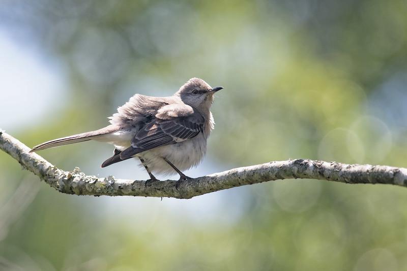 Fledgling Northern Mockingbird