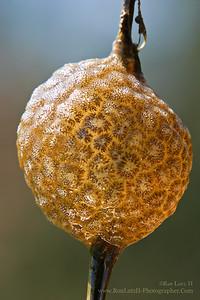 Pectinatella magnifica