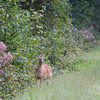 Whitetail Deer, Dismal Swamp NWR, VA